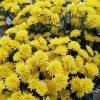 """Хризантема веточная """"Сталлион"""" желтая"""