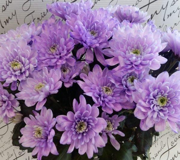 """Хризантема веточная """"Зембла"""" фиолетовая"""