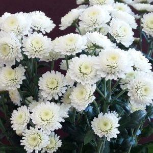 Хризантема веточная «Сталлион» белая