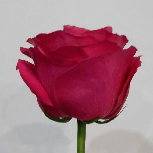 "Роза ""Пинк Флойд"""