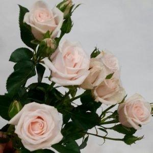 "Спрей-роза ""Яна"""