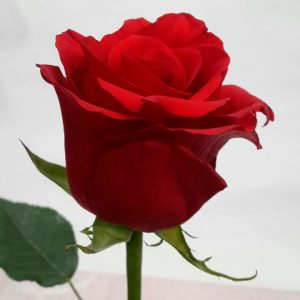 """Роза """"Фридом"""""""